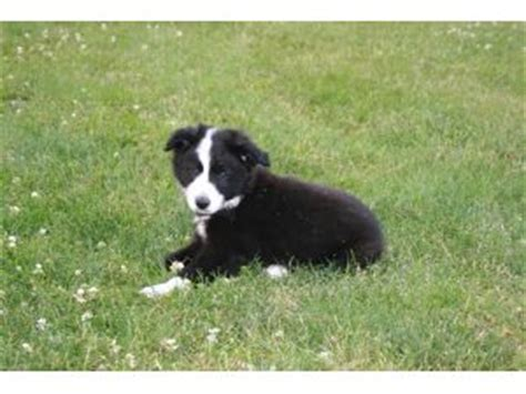 border collie puppies for sale in nj border collie puppies for sale