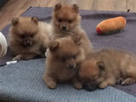pomeranian puppies for sale glasgow pedigree pomeranian puppies for sale glasgow lanarkshire pets4homes