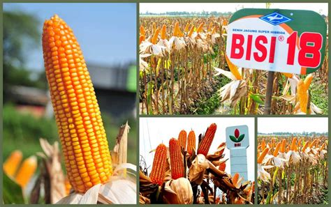 Benih Jagung Hibrida Pioneer bisi international official website
