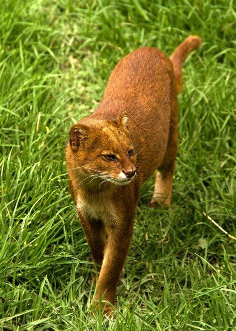imagenes jaguarundi jaguarundi animals pinterest