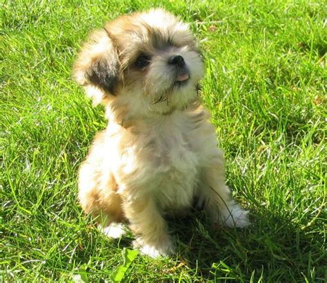 fluffy puppy breeds small fluffy breeds home types