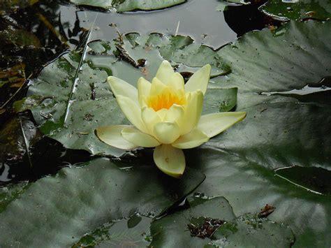 fiore simbolo famiglia fiore di loto la magica storia simbolo della