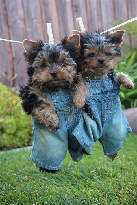 yorkie breeders bc best 25 yorkie puppies ideas on baby yorkie teacup yorkie and adorable