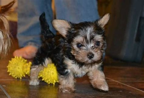 yorkie poo chihuahua 17 images about heinz 57 on 11 maltese and australian shepherd mix