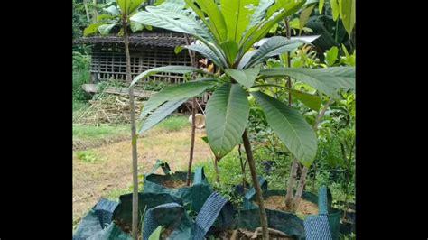 Bibit Buah Mamey Sapote bibit buah mamey sapote harga terjangkau 081335595272