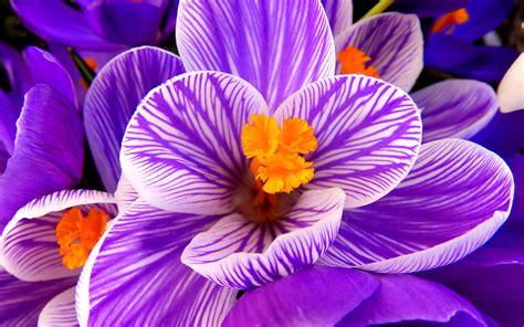 fiori hd wallpaper crocus flower purple flower hd flowers most