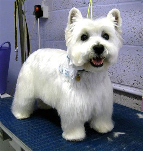 Pictures Of Haircuts For Westies | westie haircut pictures westies pinterest haircut