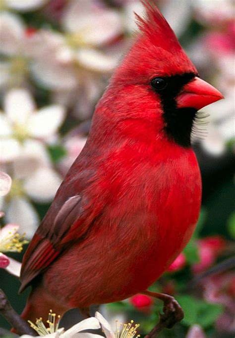 84 best images about my red birds tyj xoxxo on pinterest