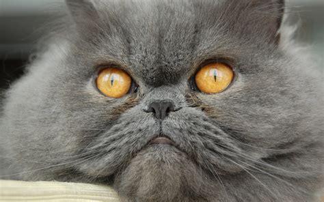 gatto persiano alimentazione il gatto persiano il pelo lungo per eccellenza animali