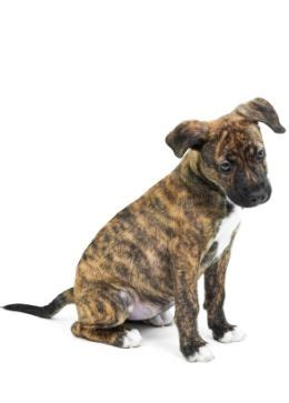 brindle pit puppy brindle pit bulls one of the most beautiful pit bulls