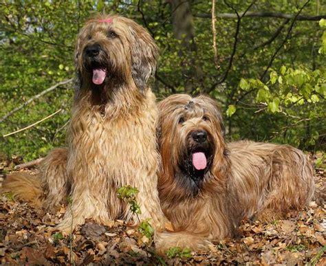 briard breed briard breed breed dogs spinningpetsyarn