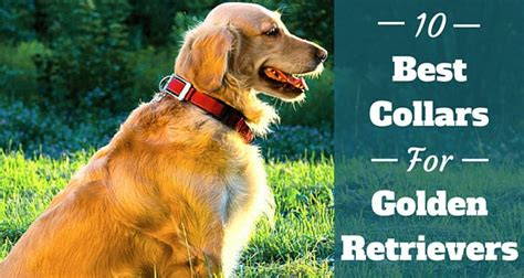 best food for golden retrievers 10 of the best collars for golden retrievers