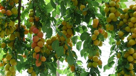 beautiful fruit trees fruit tree harvest anthocyanins beautiful plums as