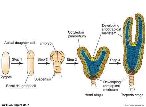 pattern formation in plant embryogenesis opinions on plant embryogenesis