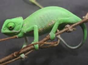 Baby veiled chameleons 49 99 each 95 pairs