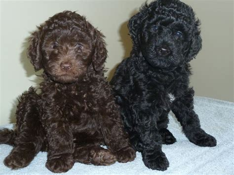 black and brown puppy 32 barbet puppy pictures and photos