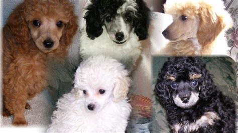 poodle puppies akc toy mini  colors reholcomb