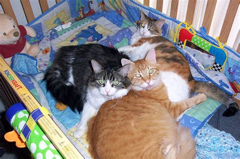 Cat In Baby Crib by Cats In The Crib Cats Photo 36016024 Fanpop