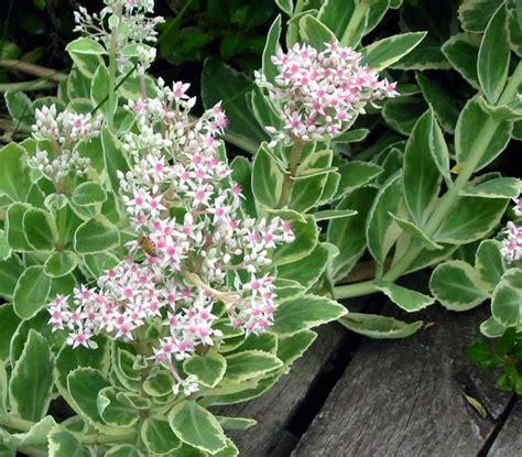 perennial foliage plants perennial plants