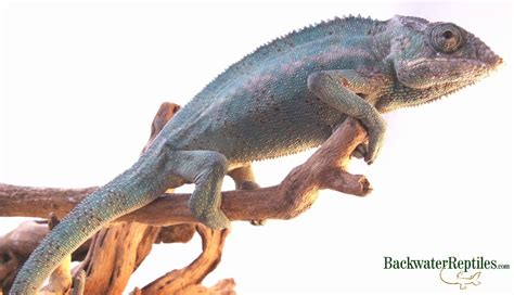 Panther Chameleon Shedding by How To Tell If Your Lizard Is Ready To Shed