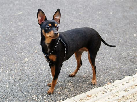 mini pinscher miniature pinscher my rocks