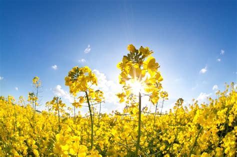 rapeseed information learn  growing rape plants