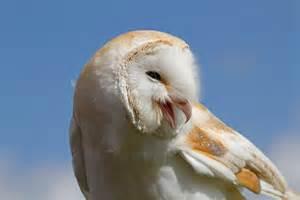 What Is A Barn Owl file barn owl 1 6942368619 jpg wikimedia commons