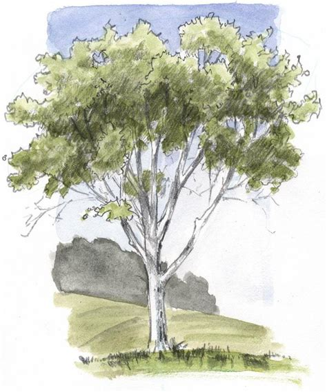 oak tree drawing how to draw an oak tree ne delightful deciduous trees