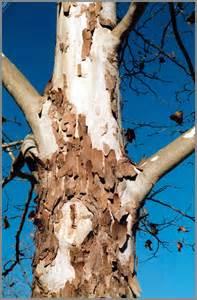 bark shedding trees images
