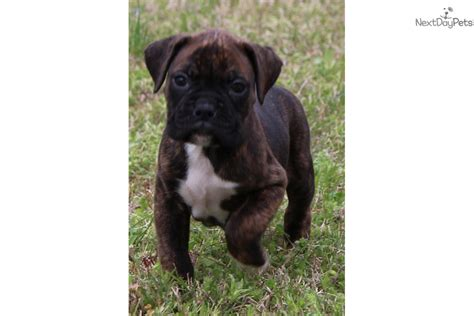 boxer puppies st louis akc registered litter certificate pedigree chion bloodlines breeds picture