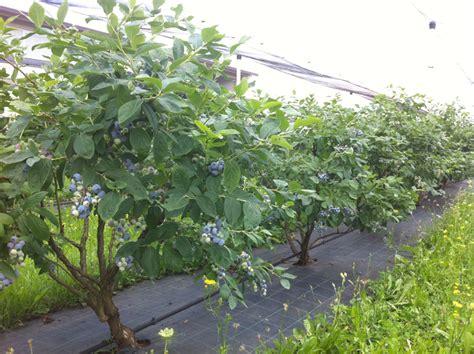 coltivare mirtilli in vaso coltivare il mirtillo fra i piccoli frutti 232 quello