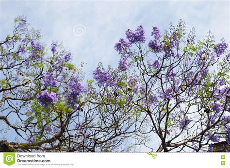 blooming with purple flowers jacaranda tree branches against blu stock image image of flower