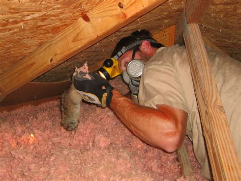 Dead Animal In My Wall Smell - dead animal in the attic signs danger what to do