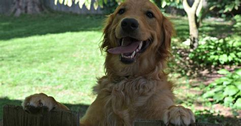 grrowls golden retriever rescue pawsome pet of the week the golden retriever pawsitively pets