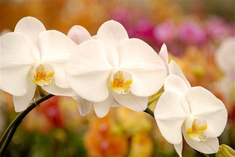 new year white flower reblooming matsui nursery celebrating 50 years of