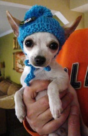 knit pattern chihuahua sweater knit puppy hat autumnblossomknits