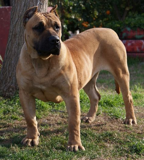 presa canario dogs 1000 images about perro de presa canario on