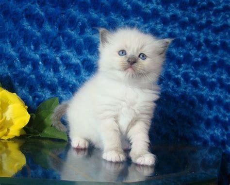 rag doll zena dell lowe 1000 images about ragdoll kittens from ragdollkittens