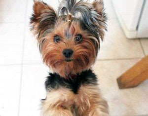 what age is a yorkie puppy grown yorkie growth chart how big do yorkies get yorkiemag