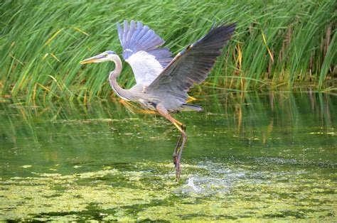 A Great Blue Heron Plays To The Camera At Milliken Park Blue Heron Nh 2