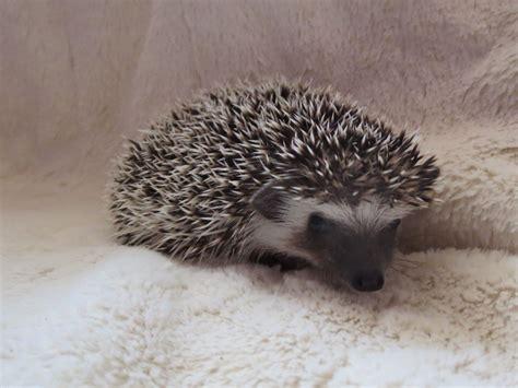pygmy hedgehog pygmy hedgehog images search