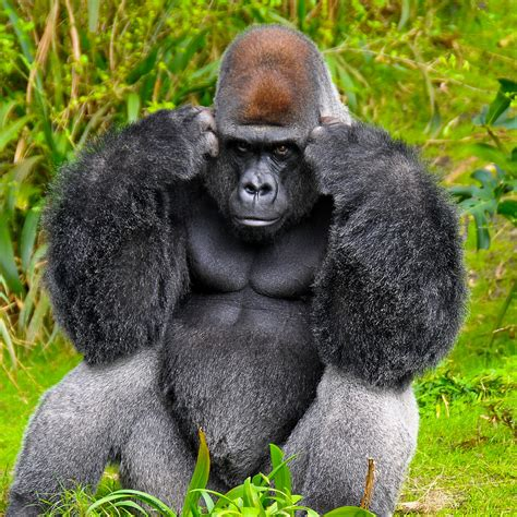 Suitable Meaning by Gorillas And Sign Language Fun Animals Wiki Videos