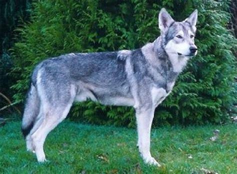 wolf german shepherd puppies german shepherd history