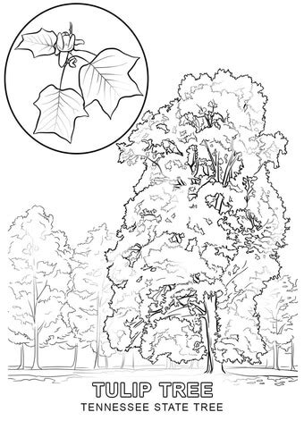 tennessee state colors tennessee state tree coloring page free printable