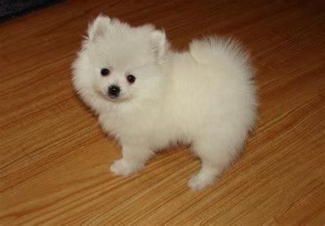 teacup pomeranian prices teacup pug puppy prices snow white teacup pomeranian puppy home of 250
