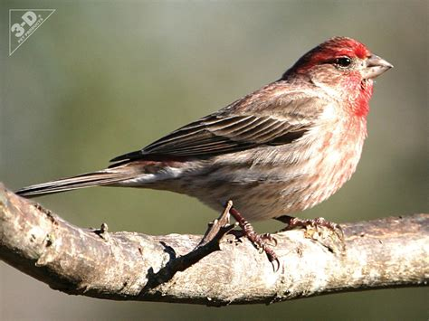 house finch house finch 3d 174 pet products3d 174 pet products