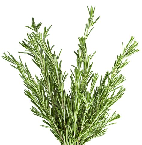 Recipes With Root Vegetables - rosemary leaves harvest to table