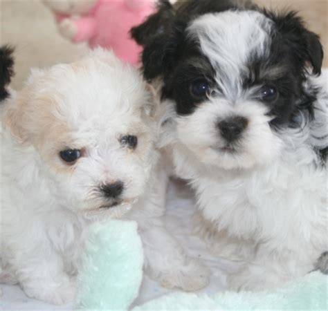black and white havanese puppies for sale havanese puppies for sale havanese puppy for sale havanese