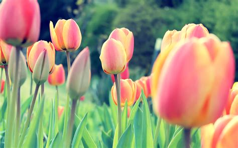 wallpaper tulips free tulips flowers background desktop
