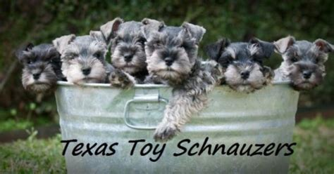 puppies for sale amarillo tx miniature schnauzer puppies for sale in miniature schnauzer puppies for sale
